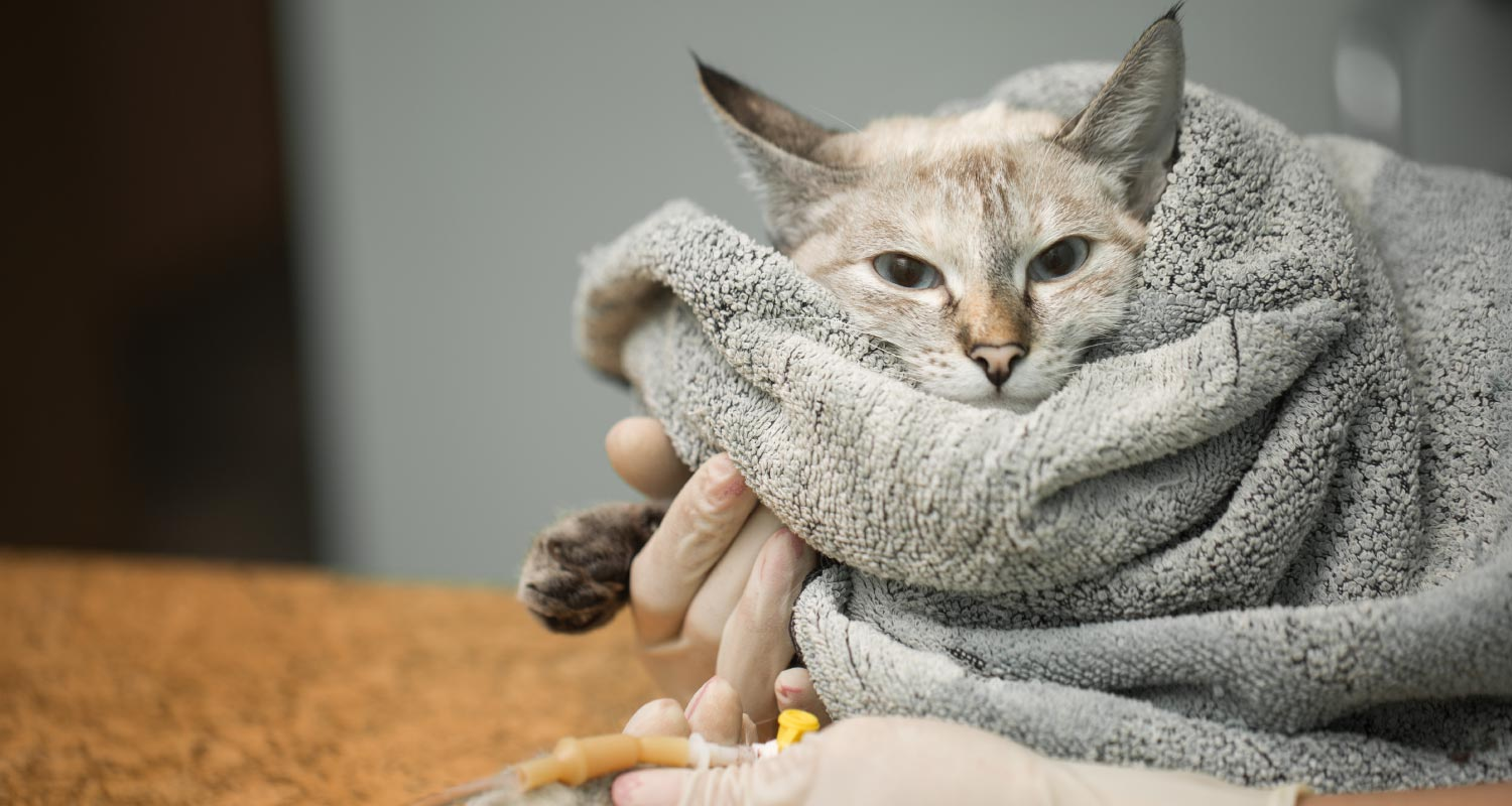 Cat wrapped in blanket with drip attached