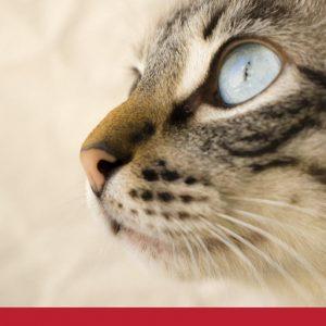 Cat Eye Inflammation
