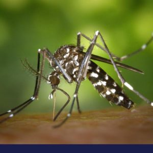 Mosquitoes on dogs