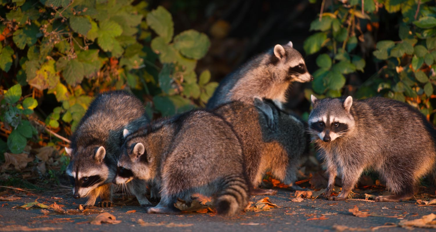 Group of racoons rummaging in the street