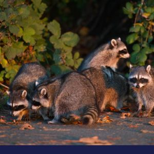 Group of raccoons searching for something