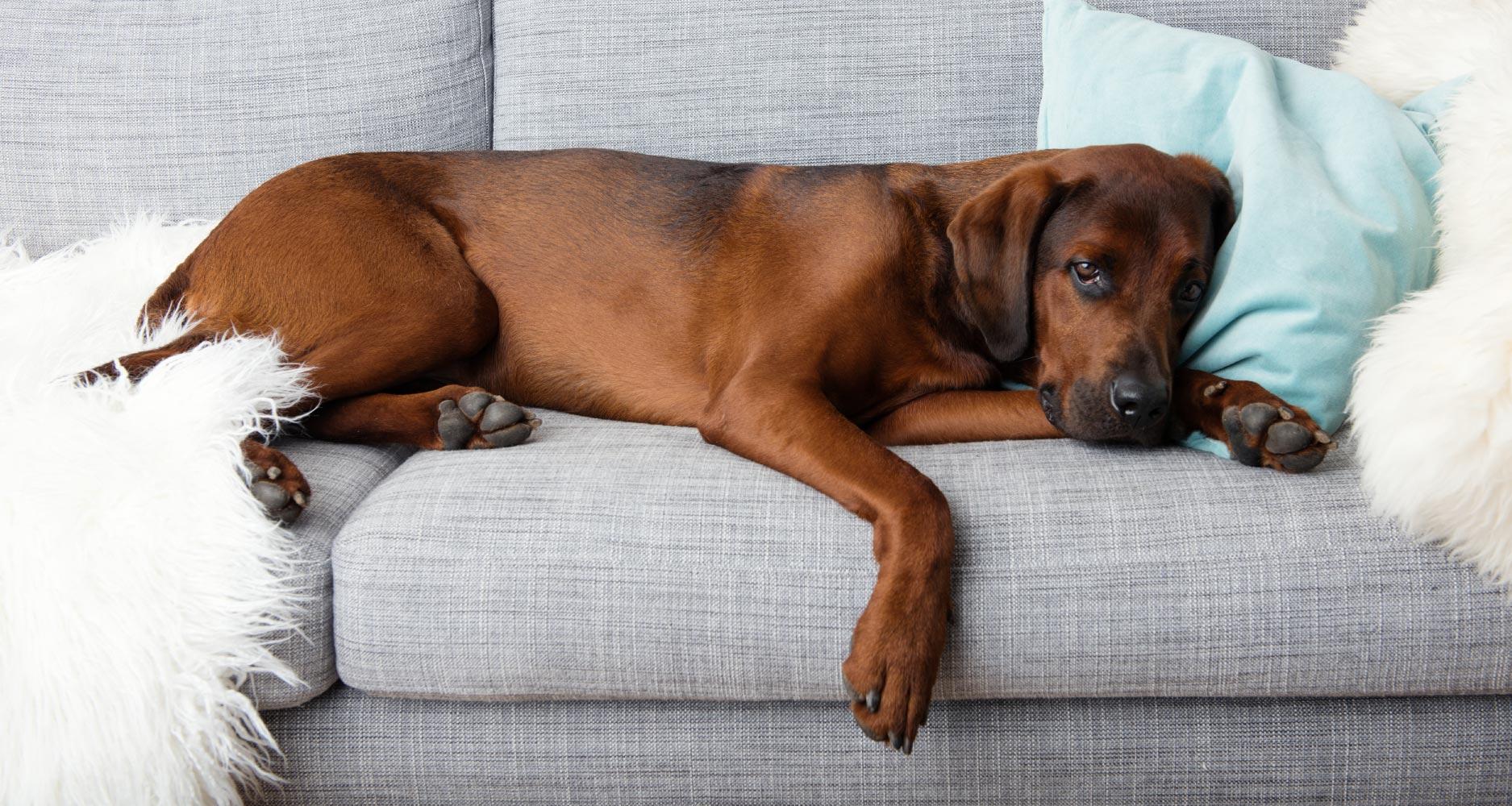 image of dog with seizure