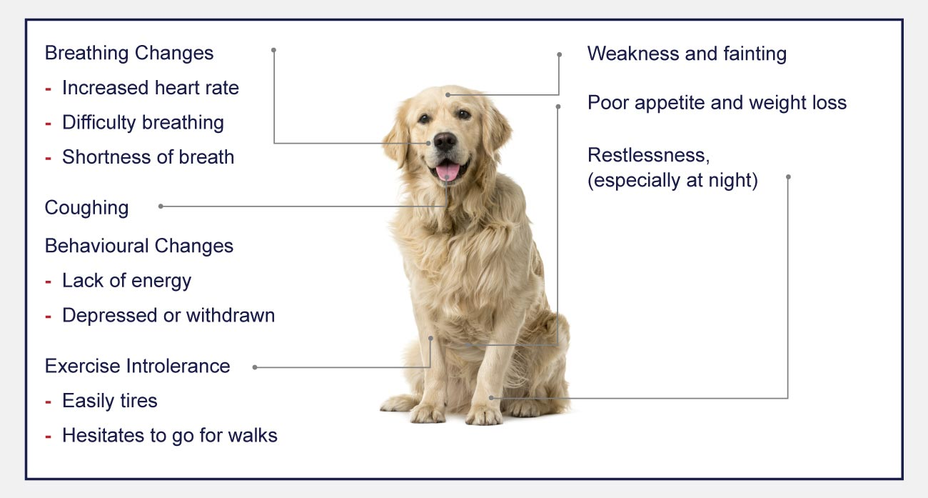 heart disease indogs signs of avvi and dcm infographic