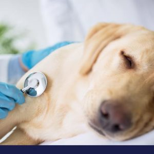Doctor examining dogs heart beat with stethoscope