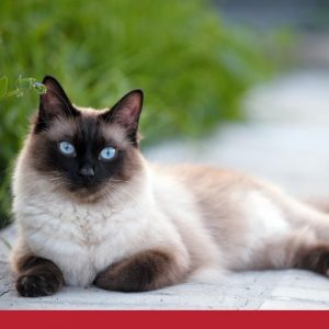 blue eyed cat laying on the pavement