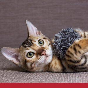 Cat lying on carpet holding fluffy toy