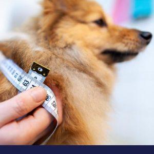 Owner taking measurement of dog