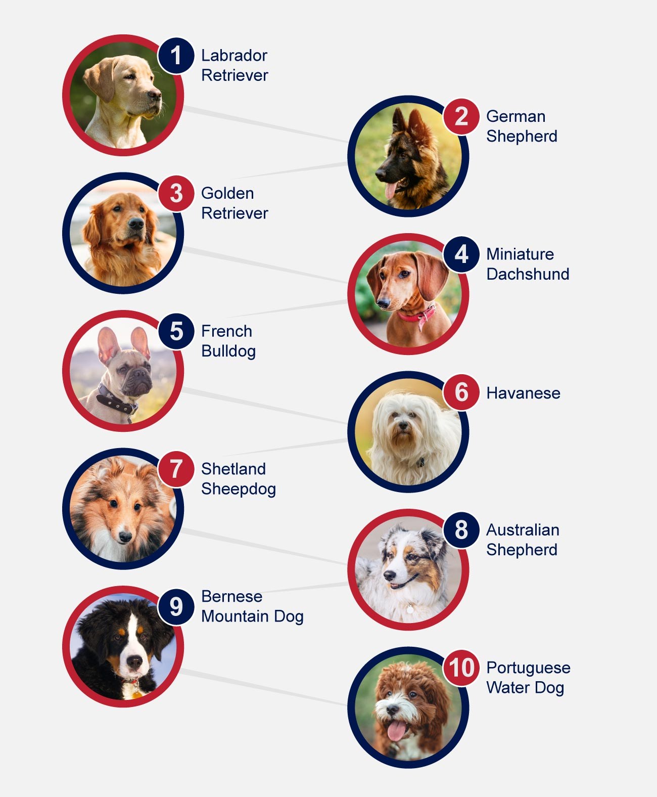 Infographic popular dog breeds