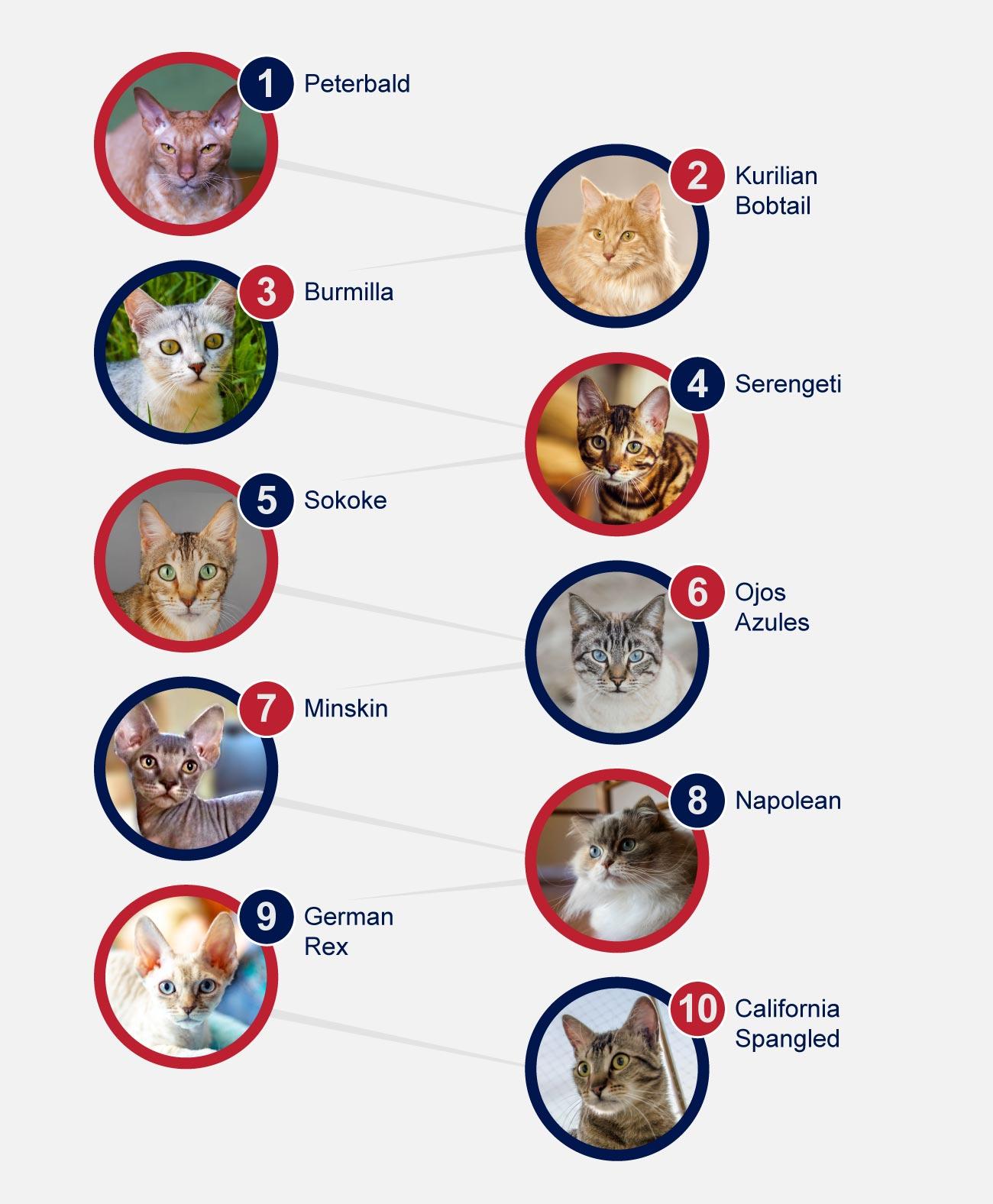 infographic rare cat breeds