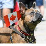 Image french bulldog with Canadian flag on back.