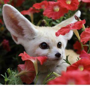 Fennec fox amongst flowers