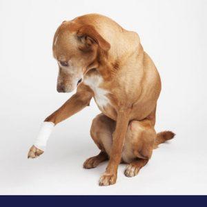 Dog glacing at bandage on arm