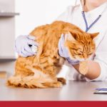 Nurse performing an examination on a ginger cat
