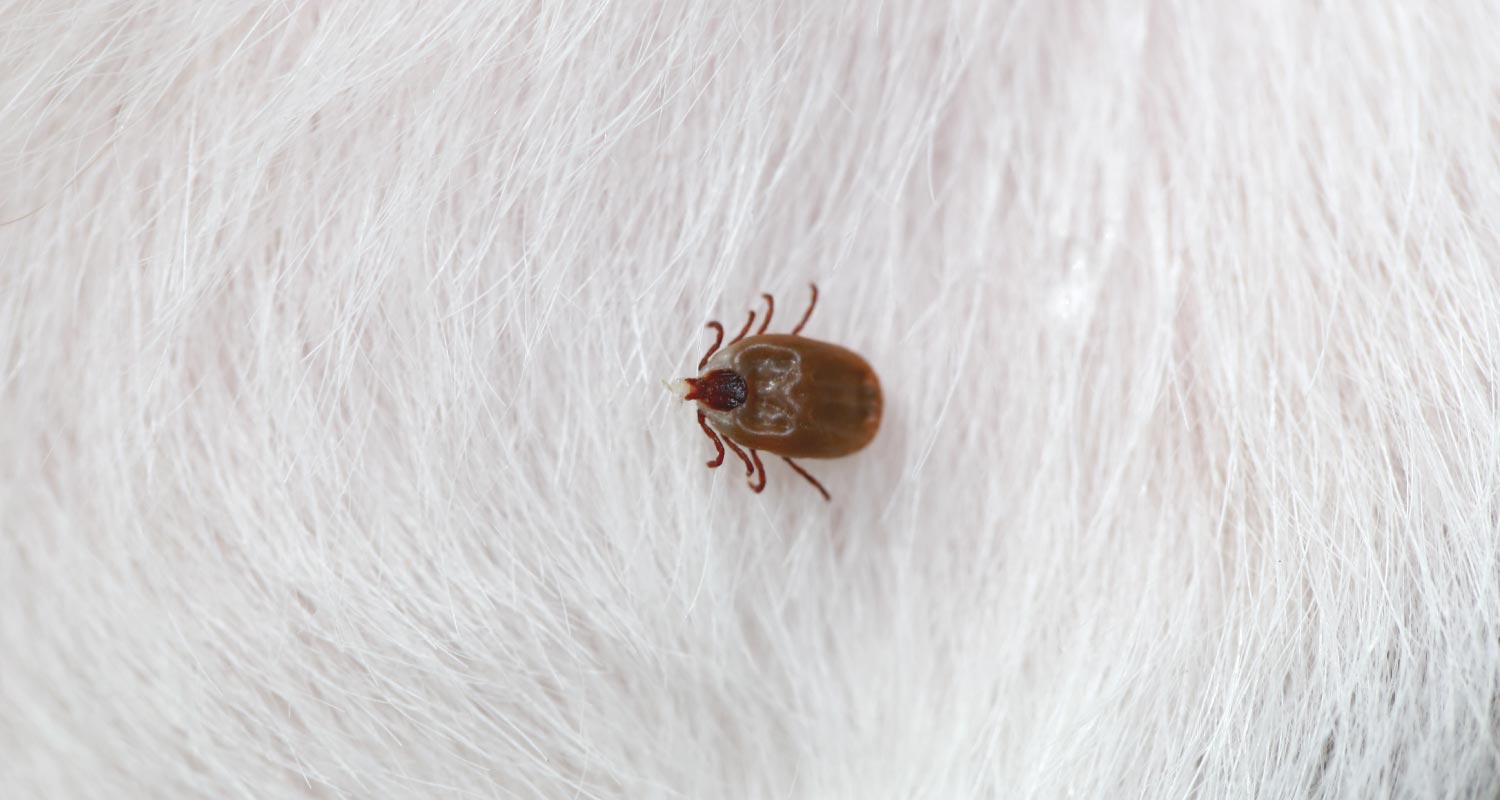 close up of tick in white fur