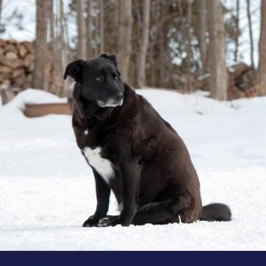 Overweight black dog sitting in the snow