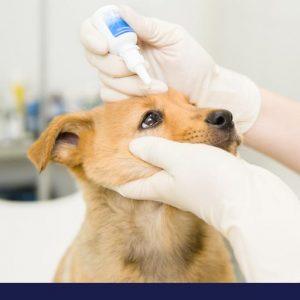 Doctor giving small dog eye drops