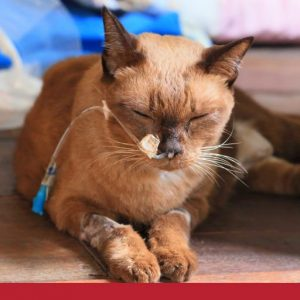 Sick looking cat with hose attached to nose