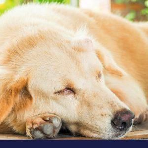 Dog with lump on head lying on the floor
