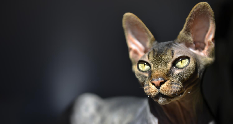 Yellow eyed sphynx cat
