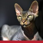 Yellow eyed sphynx cat