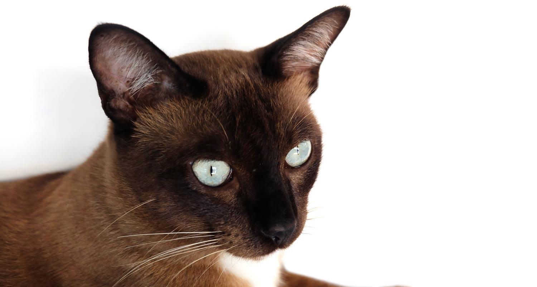 White eyed tonkinese cat