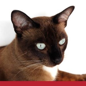 White eyed Tonkinese cat